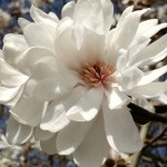 star magnolia blossom macro 150x150 - New Beginnings