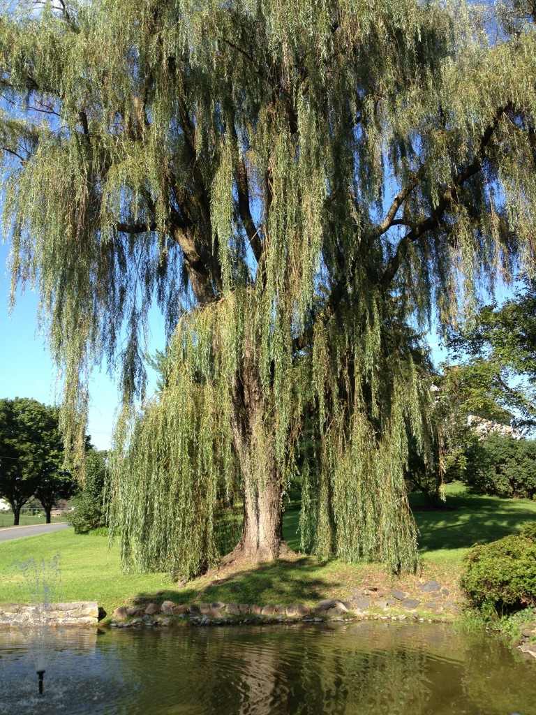 Majestic willow pruned by arborists from Bartlett's Chambersburg office