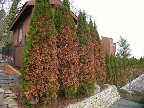 Bartlett Tree Experts Winter Injury On Landscape Plants