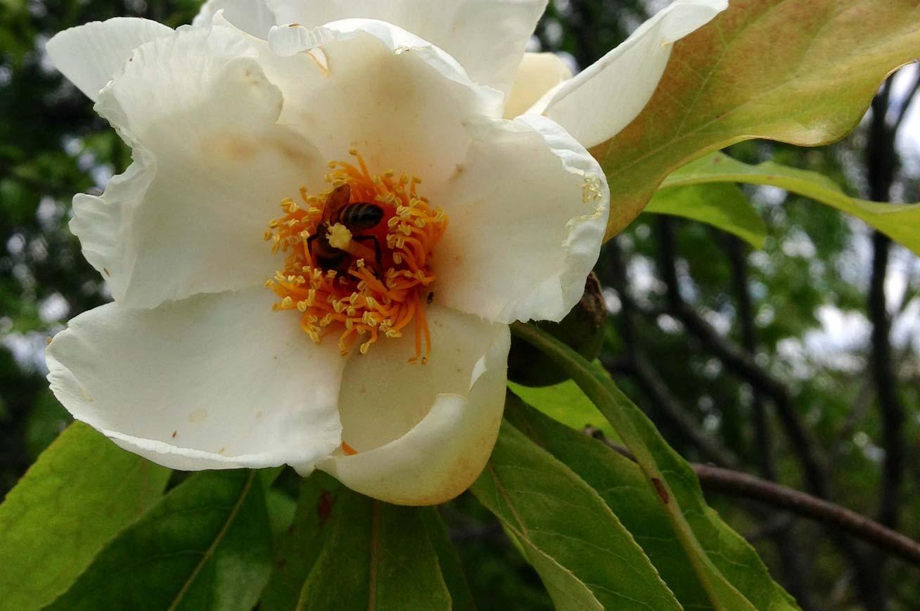 Bartlett Tree Experts Flowering Trees