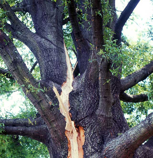 Lightning damage to oak tree