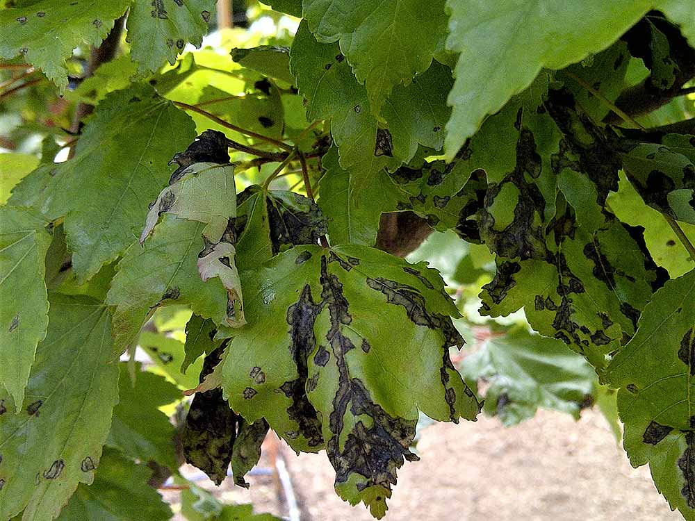 anthracnose on maple leaves