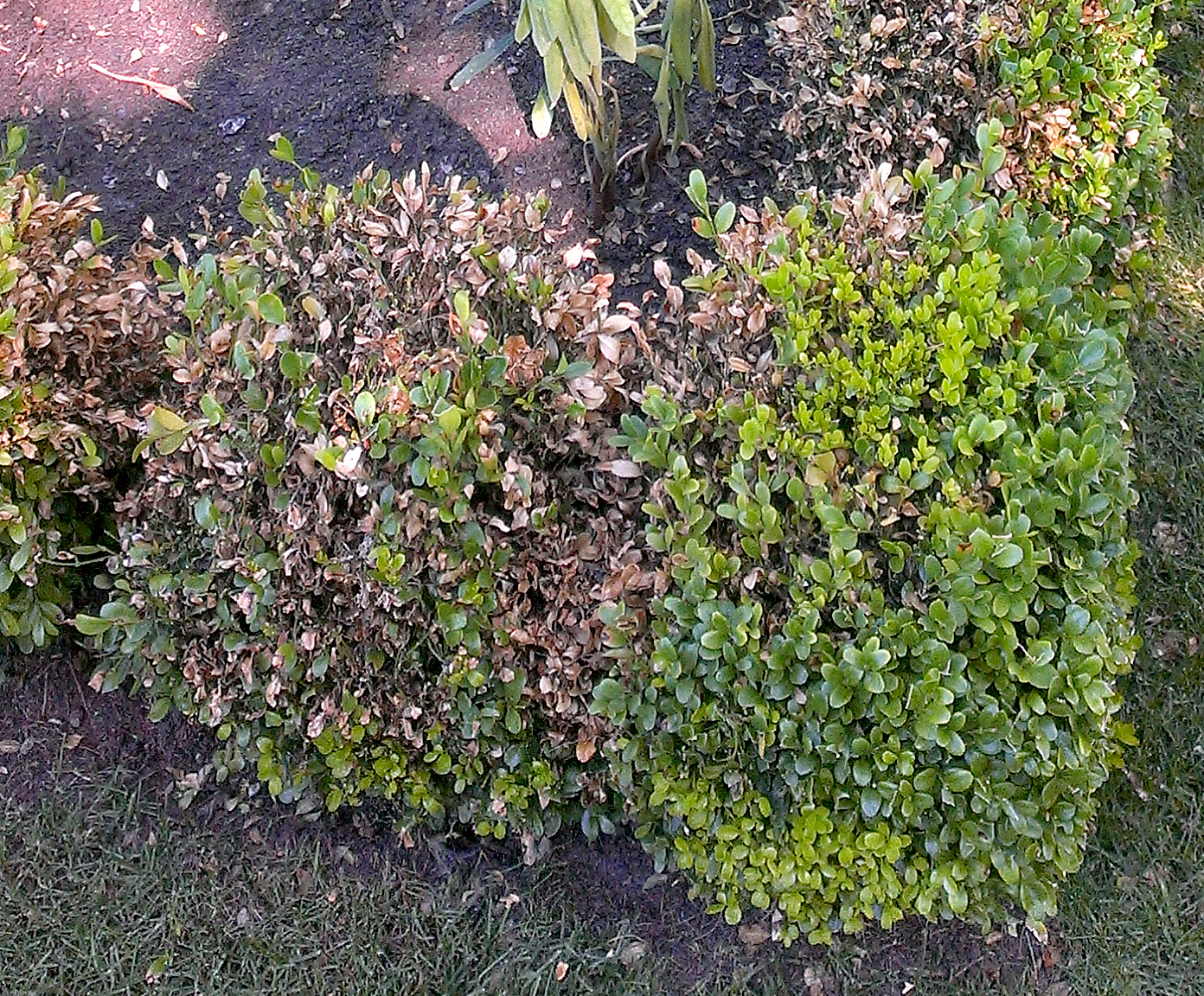 Boxwood blight spread