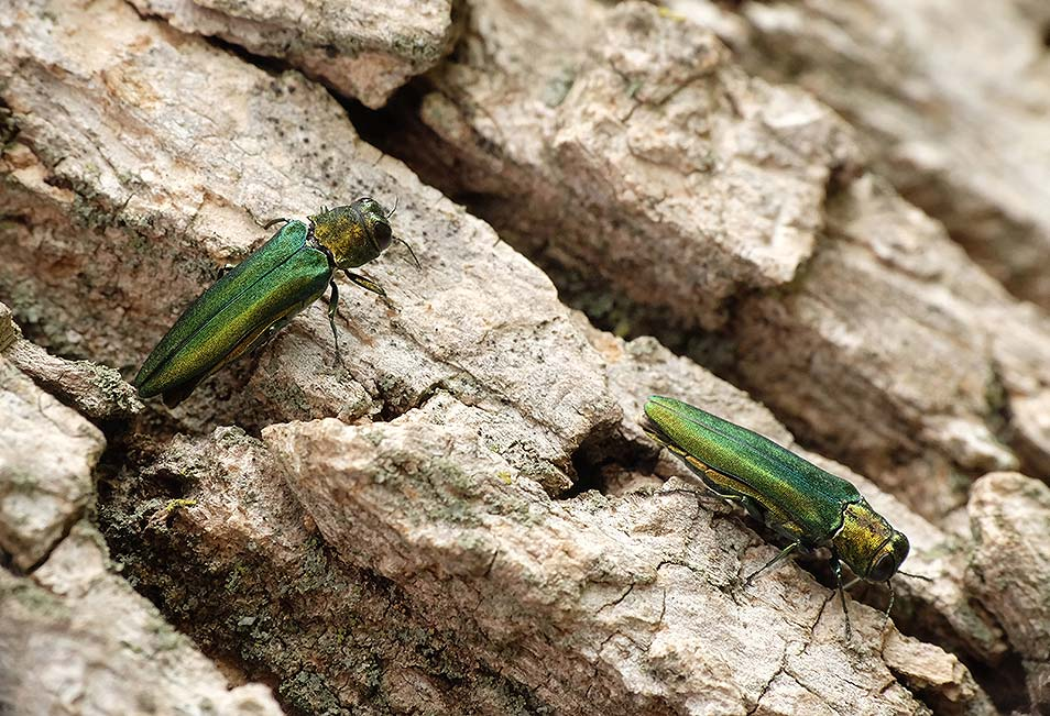 Lifecycle of emerald ash borer