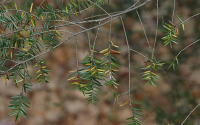 thinning limbs with yellowing needles is often a sign of hemlock woolly adelgid