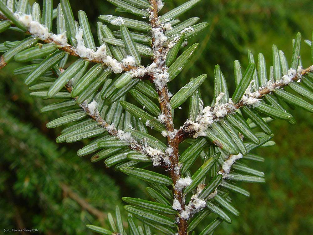 "tiny ""cotton balls"" on the underside of hemlock branches signal infestation by hemlock woolly adelgid"
