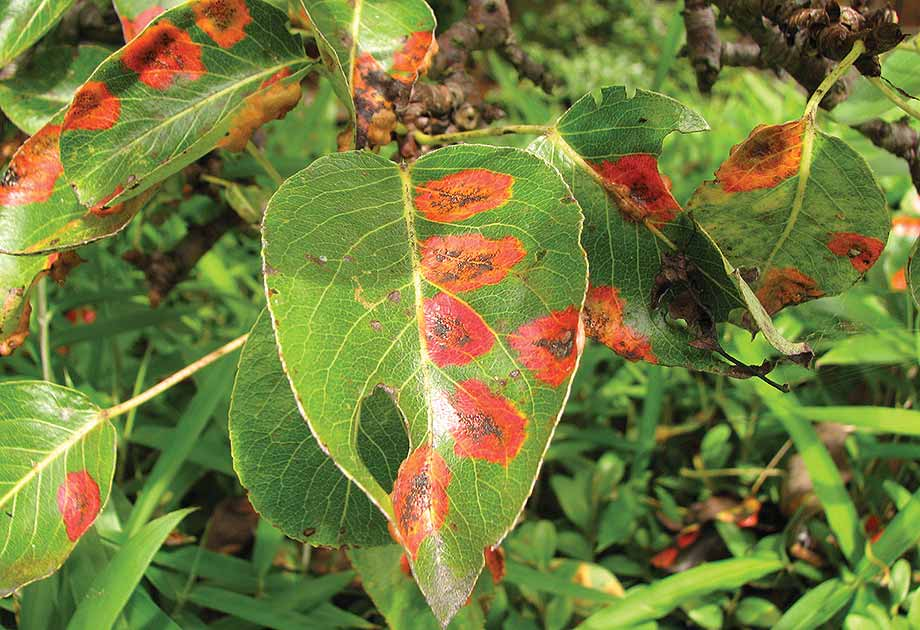 Foliar Diseases