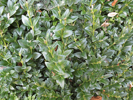 buxus-sempervirens-1.png