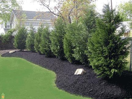 Bartlett Tree Experts: Leyland Cypress