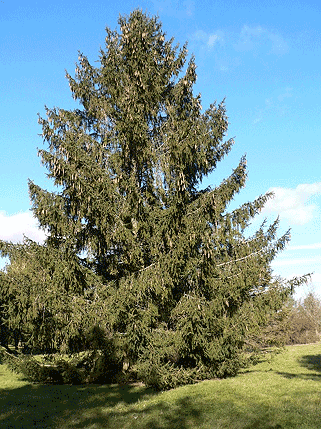 picea-abies-1.png
