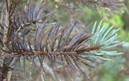 picea-pungens-1.png
