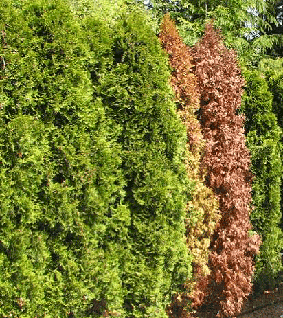 thuja-spp-1.png